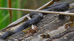 Tessellated grass snake standing on the branch. Of a tree in spring Stock Photos