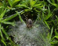 Tessitore del ragno dei cunicoli fotografia stock libera da diritti