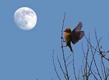 Tessitore di Baya con la luna Fotografie Stock