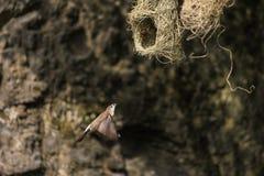 Tessitore di Baya, piccolo uccello femminile che vola indietro al suo nido per alimentare i suoi pulcini immagine stock
