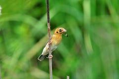 Tessitore dorato asiatico (uccello) Fotografie Stock Libere da Diritti