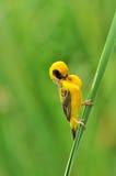 Tessitore dorato asiatico (uccello) Immagini Stock