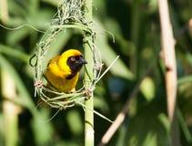Tessitore giallo che fissa dal blocco per grafici del nido Immagine Stock