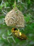 Tessitore mascherato del sud sul nido Immagini Stock