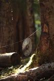Tessitore nel boschetto Fotografie Stock