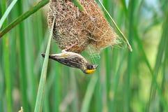 Tessitore striato (uccello) Fotografia Stock Libera da Diritti