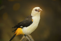 Tessitore White-headed del bufalo Fotografia Stock