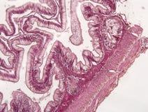 Tessuto animale dell'intestino Immagini Stock Libere da Diritti