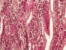 Tessuto animale dell'intestino Fotografia Stock
