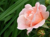 Tessuto astratto Rose Roses Pink Peach Fotografia Stock Libera da Diritti