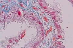 Tessuto colonnare semplice dell'epitelio del campione istologico sotto il microscopio fotografia stock