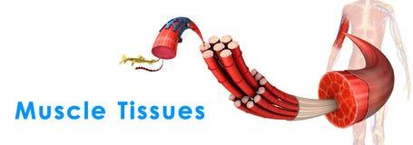Tessuto del muscolo illustrazione vettoriale