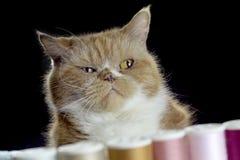 Tessuto di cucito del gatto alto vicino dello zenzero con la macchina per cucire con il filo pastello immagine stock libera da diritti