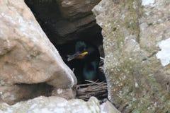 Tessuto felpato (Phalacrocorax Aristotelis) sul nido immagine stock