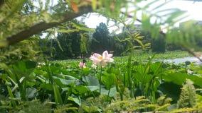 Pink lotus flower on a lake Royalty Free Stock Photo