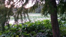 Pink lotus flowers on a lake Stock Photos
