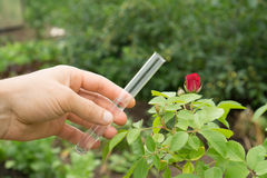 Test tube water in hand, rose plants in the background. Test tube water in a female hand, rose plants in the background Royalty Free Stock Photo