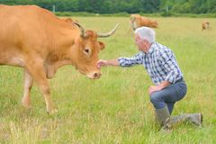 Testa accarezzante del ` s della mucca dell'agricoltore Immagini Stock