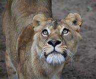 Testa africana femminile del leone Immagini Stock Libere da Diritti