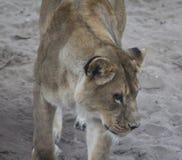Testa africana femminile del leone Fotografie Stock Libere da Diritti