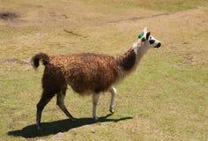 Testa ambulante del lama in su fotografia stock libera da diritti