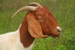 Testa & spalle della capra Immagini Stock