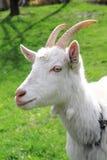 Testa bianca della capra Fotografia Stock