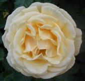 Testa completa Rose Flower Bloom crema/bianca Fotografie Stock Libere da Diritti