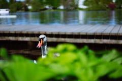 Testa curiosa di un cigno che viene su dietro il pilastro nel lago Alster a Amburgo, Germania Immagine Stock Libera da Diritti