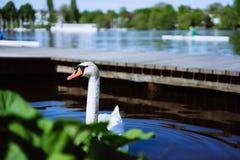 Testa curiosa di un cigno che viene su dietro le piante nel lago Alster a Amburgo, Germania Fotografie Stock