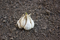 Testa d'aglio (allium sativum) Fotografia Stock
