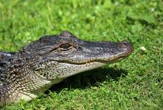 Testa degli alligatori Fotografie Stock Libere da Diritti