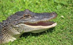 Testa degli alligatori con la bocca aperta Fotografia Stock Libera da Diritti