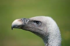 Testa degli avvoltoi Immagine Stock