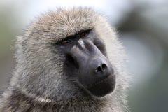 Testa dei babbuini Immagine Stock