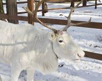 Testa dei cervi bianchi Fotografie Stock