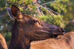 Testa dei cervi muli Immagine Stock