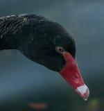 Testa dei cigni neri Fotografia Stock
