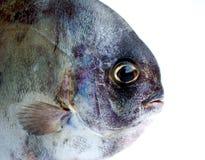 Testa dei pesci Fotografia Stock Libera da Diritti