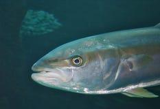 Testa dei pesci Immagine Stock