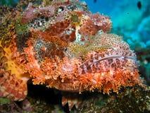 Testa dei pesci di scorpione Immagini Stock Libere da Diritti