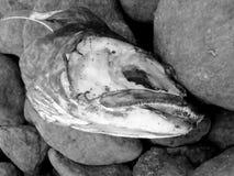 Testa del pesce sulle rocce Immagini Stock