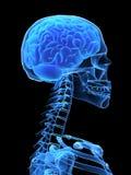 Testa dei raggi X con il cervello Fotografie Stock