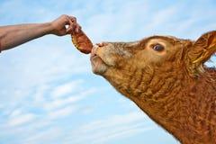 Testa del bestiame amichevole Fotografie Stock