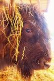 Testa del bisonte Primo piano immagine stock