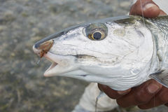 Testa del Bonefish con la mosca nella sua bocca Fotografie Stock Libere da Diritti