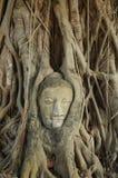 Testa del Buddha in albero Fotografia Stock Libera da Diritti