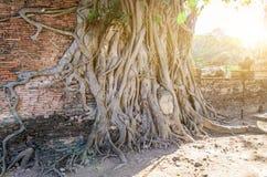 Testa del Buddha nelle radici dell'albero fotografia stock libera da diritti