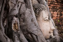Testa del Buddha nelle radici dell'albero Immagine Stock