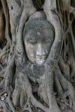 Testa del Buddha in un albero Immagini Stock